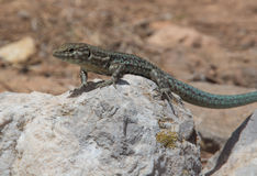 Dragonera-Eidechsen Podarcis-lilfordi Lizenzfreie Stockfotografie