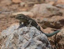 Dragonera-Eidechsen Podarcis-lilfordi Stockbild