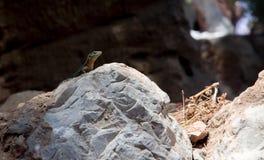 Dragonera lizards Podarcis lilfordi Royalty Free Stock Images