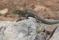 Dragonera lizards Podarcis lilfordi Royalty Free Stock Photography