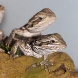 Dragones barbudos Fotografía de archivo libre de regalías