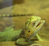 Dragones barbudos Fotos de archivo
