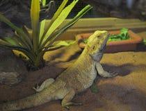 Dragones barbudos Imagen de archivo libre de regalías