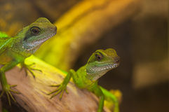 Dragones de agua verdes Fotos de archivo libres de regalías