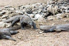 Dragones de Komodo Fotos de archivo libres de regalías