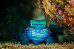 Dragonet mandarinfish in Banda, Indonesia underwater photo Stock Photography