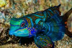 Dragonet mandarinfish i Banda, Indonesien undervattens- foto Royaltyfria Bilder