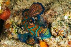 Dragonet mandarinfish i Banda, Indonesien undervattens- foto Arkivbild