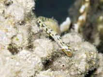 Dragonface Pipefish in red sea Royalty Free Stock Images