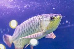 Dragonfish Στοκ φωτογραφίες με δικαίωμα ελεύθερης χρήσης
