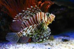 Dragonfish Stock Photography