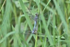2 dragonflies в влюбленности Стоковое Изображение RF