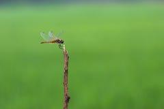 Dragonflies летают в treetops зеленого цвета поля зеленого цвета острова назад Стоковые Фотографии RF
