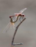 2 dragonflies делая секс стоковая фотография