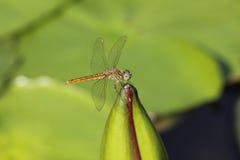 Dragonflies и лотос Стоковые Фотографии RF