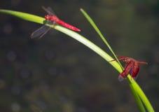 Dragonflies на лист завода Стоковые Изображения RF