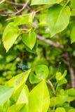 2 dragonflies на лист Стоковые Изображения