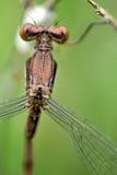 Dragonflies проходя меня мимо Стоковая Фотография RF