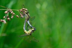 2 dragonflies сопрягая конец-вверх Стоковое Фото