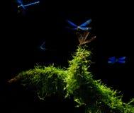 dragonflies танцы Стоковое Изображение