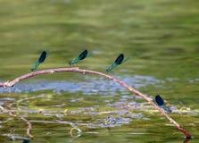 dragonflies Стоковая Фотография