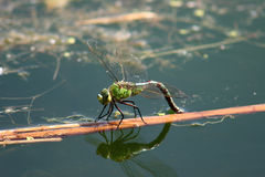 Dragonflies Royalty Free Stock Photo
