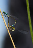 Dragonflies. Making love on flower sprig Stock Photo