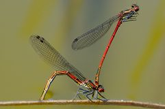 Dragonflies Obrazy Stock