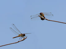Dragonflies. Two dragonflies perched on branches royalty free stock image
