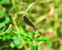 Dragonflies Obraz Stock
