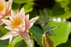 Dragonflies Stock Image