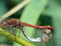 Free Dragonflies Royalty Free Stock Images - 4324179