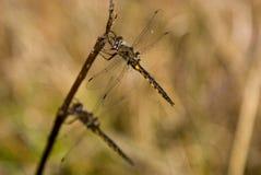 dragonflies fotografia stock