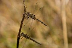 dragonflies zdjęcie royalty free