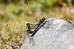 dragonflies zdjęcie stock