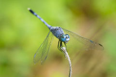 dragonflies obrazy royalty free