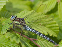 Dragonflies 7. Dragonflies on the green leafs Stock Images