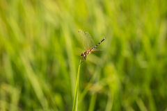 dragonflies Стоковые Фото
