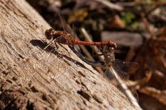 dragonflies Zdjęcia Royalty Free