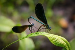 dragonflies Стоковое Изображение RF