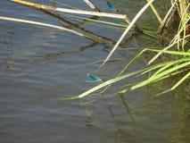 dragonflies Стоковое Изображение