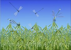 Dragonflies above oat field Stock Image