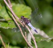 Dragonflies bardzo luźną głowę oczy uzupełniających wokoło 50.000 ommatidia i stosunkowo krótkich antennae, fotografia royalty free