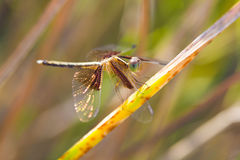 Dragonflies Stock Photography
