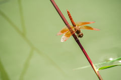 Dragonflies catch on the grass above the water. Stock Image