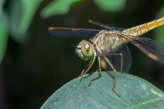 Dragonflies Coast up Royalty Free Stock Images