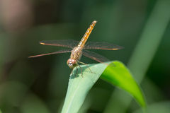 Dragonflies Coast up Royalty Free Stock Photos