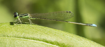 Dragonflies (damselflies). Odonata (Odonata) a general term for all insects. Including the dragonflies and damselflies people are familiar with. Larvae called Stock Photos