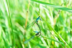dragonflies dwa Obraz Stock