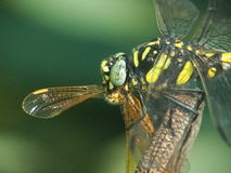 Dragonflies eat dragonflies. In nature Stock Images